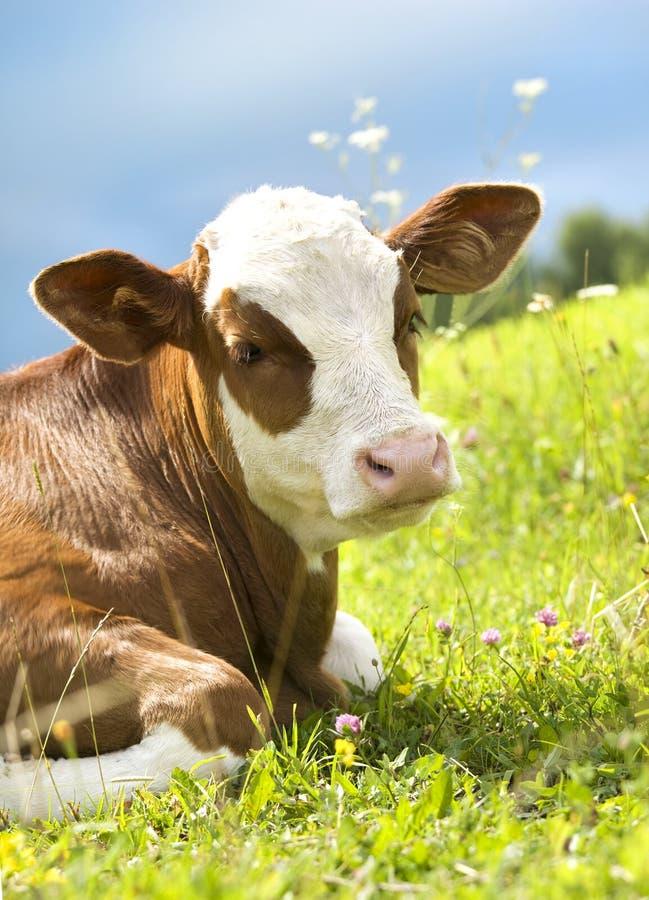 Verticale d'une belle vache sur l'herbe photo stock