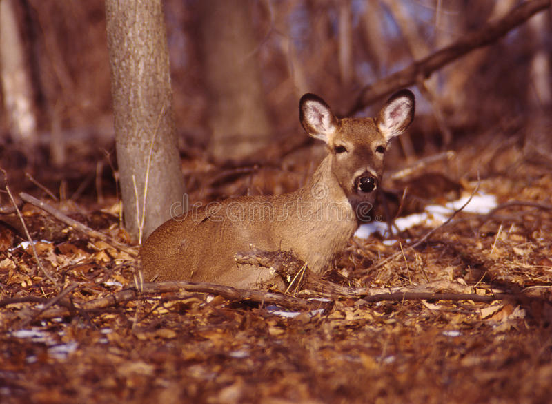 Verticale d'une daine de whitetail photo stock