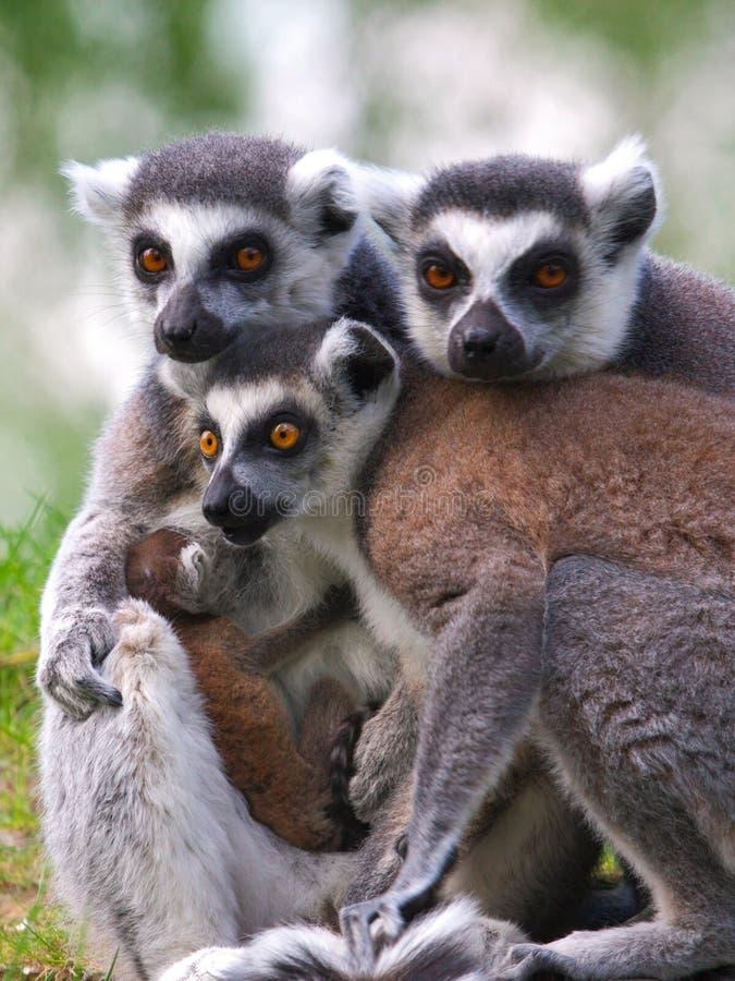 Verticale d'une famille de lemur Ring-tailed avec la chéri photos stock
