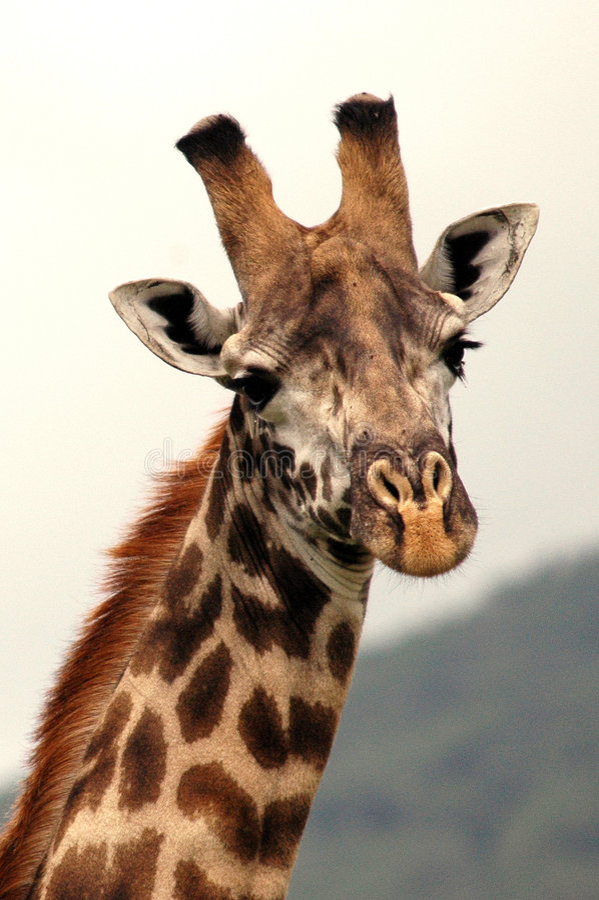 Verticale d'une giraffe africaine photos stock