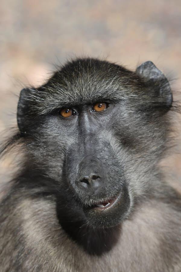 Verticale de babouin de Chacma image libre de droits