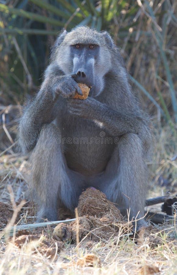 Verticale de babouin de Chacma photos libres de droits