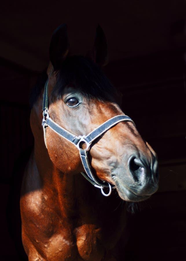 Verticale de beau cheval dans l'obscurité photos stock