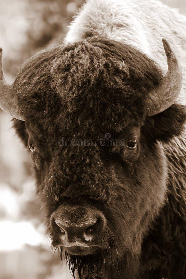 Verticale de bison de sépia images stock