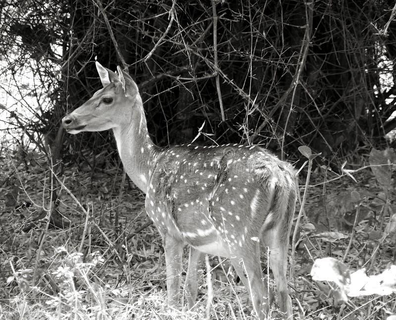Verticale de cerfs communs dans la jeune photo libre de droits