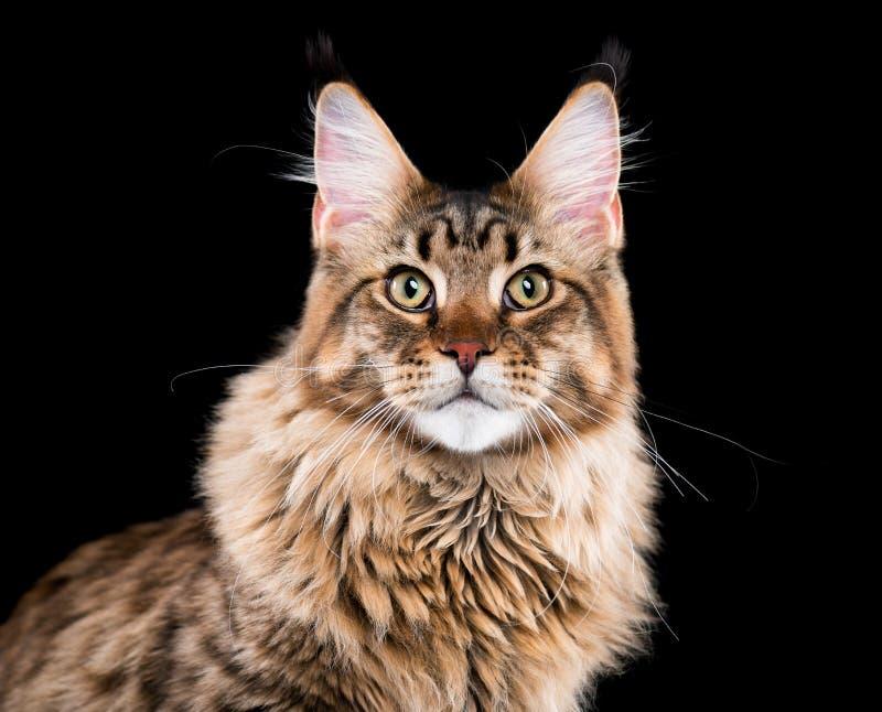 Verticale de chat de ragondin du Maine images libres de droits