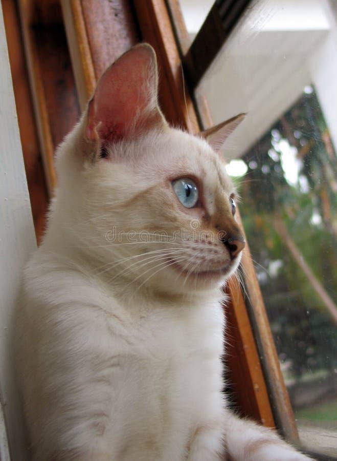 verticale de chat du Bengale image libre de droits