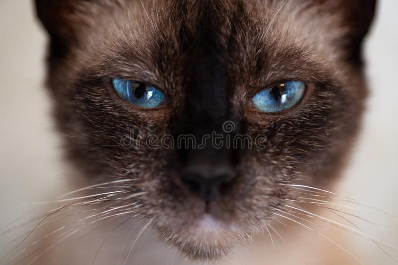Verticale de chat siamois photo stock