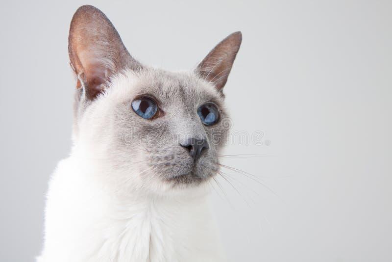 Verticale de chat siamois sur le gris images libres de droits