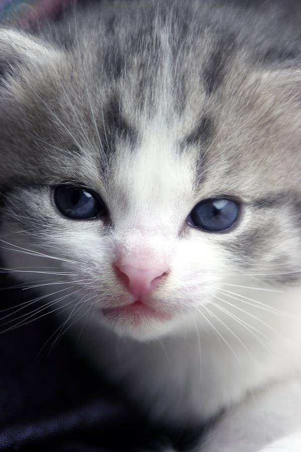 Verticale de chaton image libre de droits