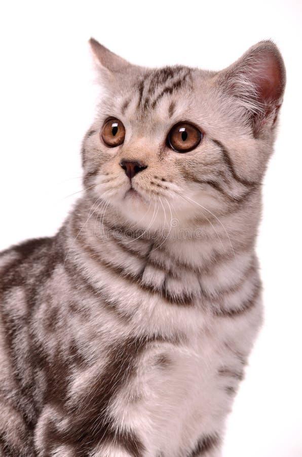 Verticale de chaton de pli d'écossais image libre de droits