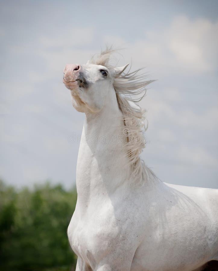 Verticale de cheval blanc photo stock