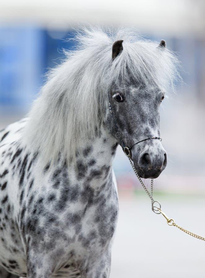 Verticale de cheval d'Appaloosa photographie stock