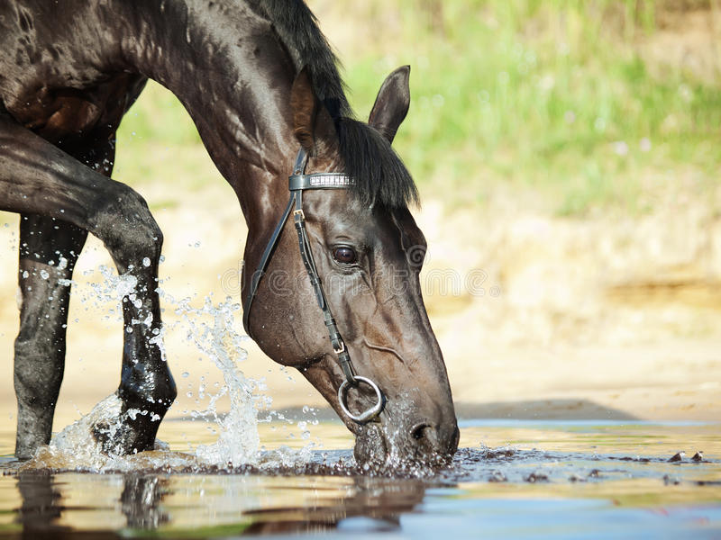 Verticale de cheval potable noir dans l'eau photo stock
