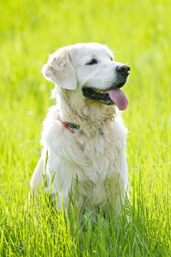 Verticale de chien d'arrêt d'or en été photo libre de droits
