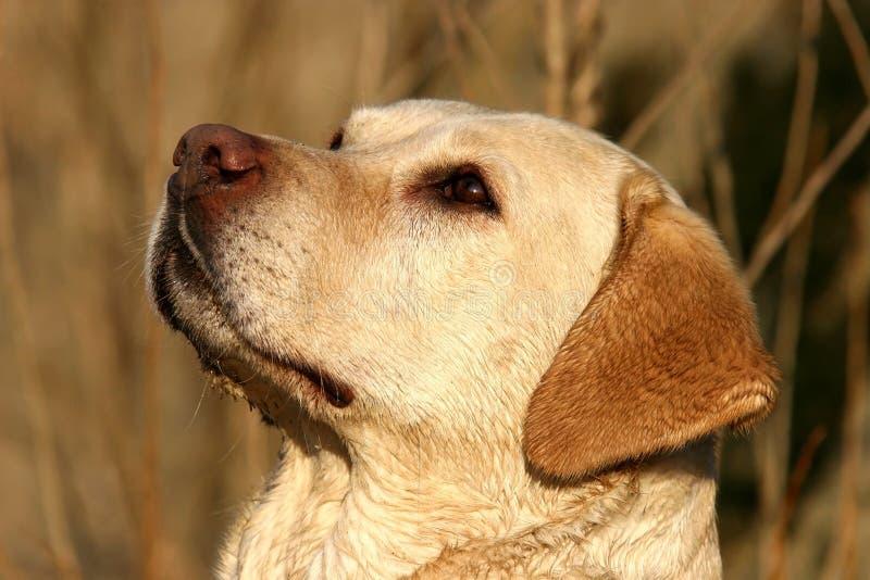 Verticale de chien d'arrêt de Labrador image libre de droits