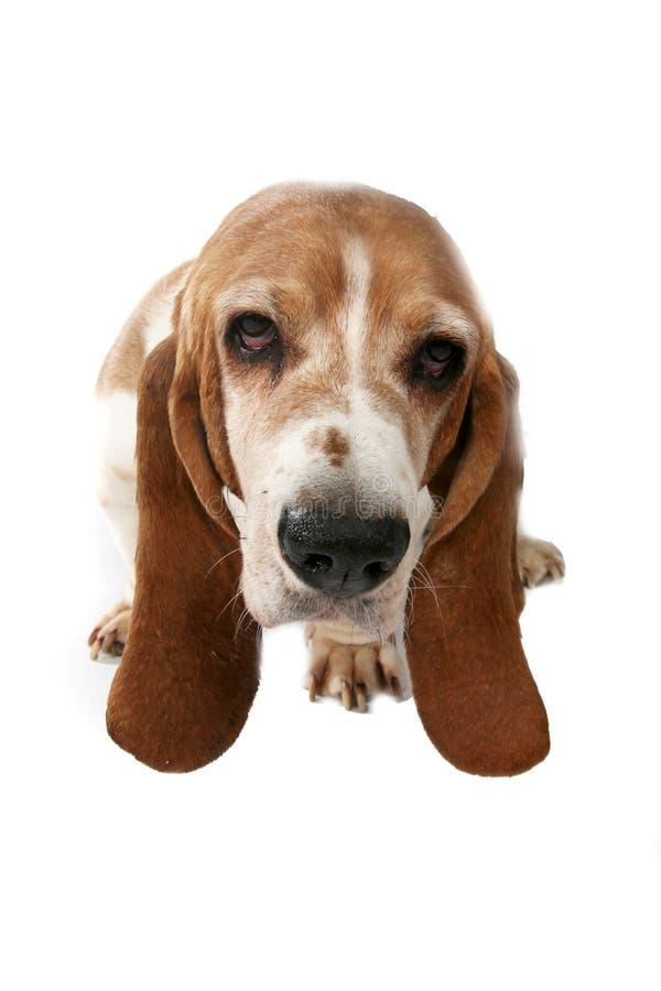 Verticale de chien de basset prise de ci-avant image libre de droits