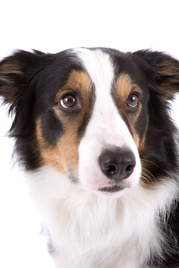 Verticale de chien de berger photo stock