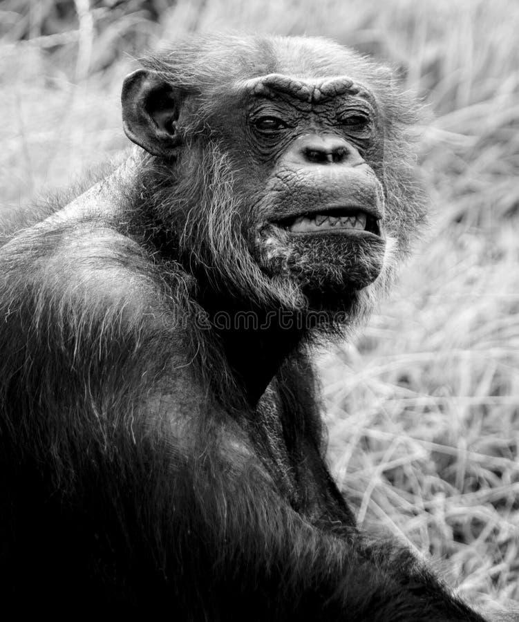 Verticale de chimpanzé images libres de droits
