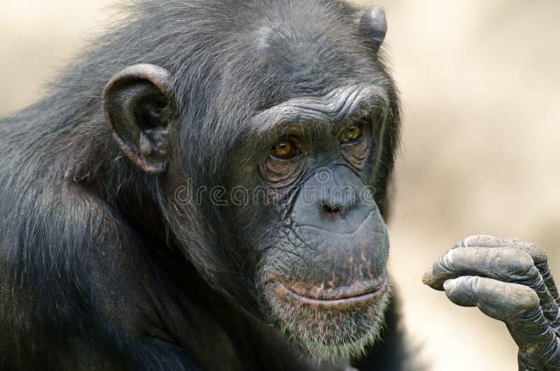 Verticale de chimpanzé photo libre de droits