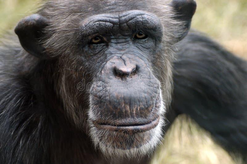 Verticale de chimpanzé photographie stock