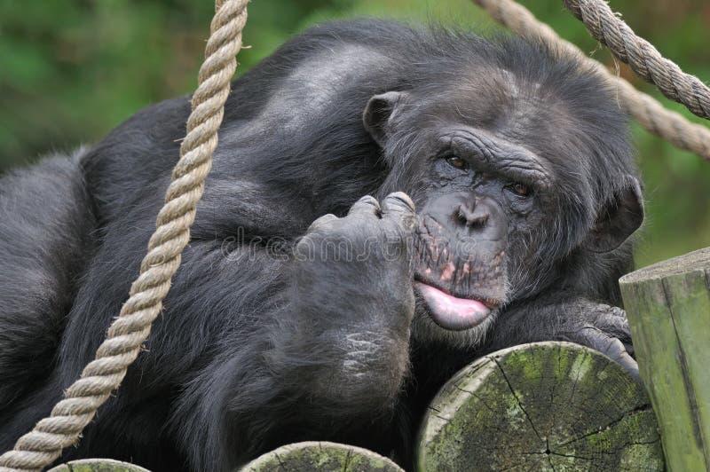 Verticale de chimpanzé photos stock
