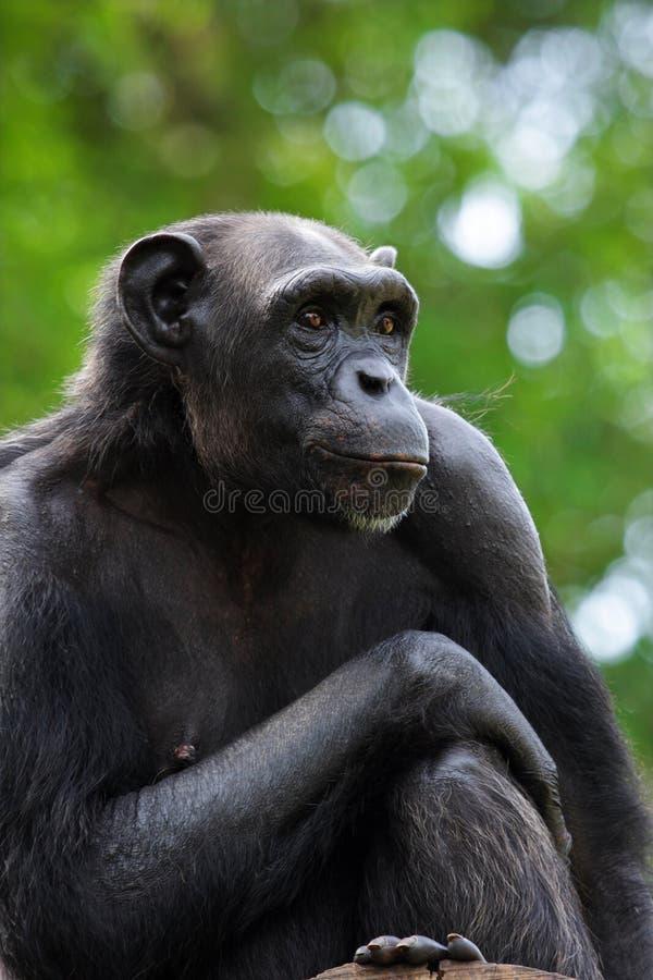 verticale de chimpanzé photographie stock libre de droits