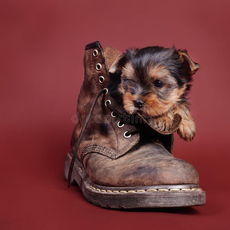 Verticale de chiot de crabot de chien terrier de Yorkshire photo libre de droits