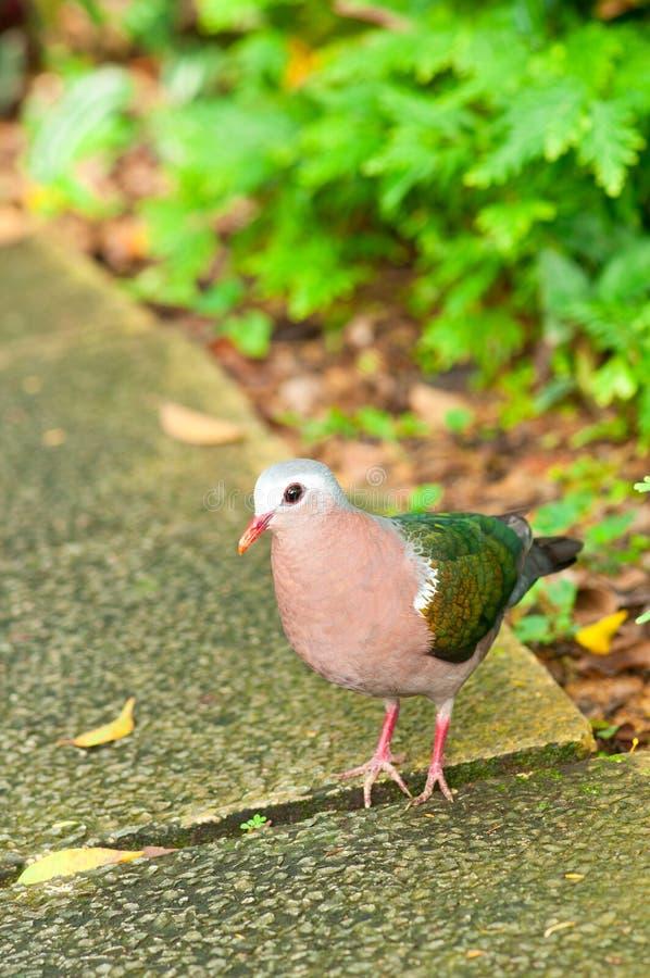 Verticale de colombe d'émeraude photo libre de droits