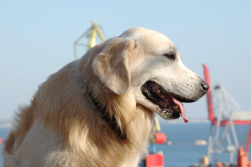 Verticale de crabot de chien d'arrêt d'or photographie stock