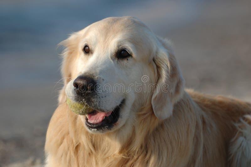 Verticale de crabot heureux de chien d'arrêt d'or photographie stock libre de droits