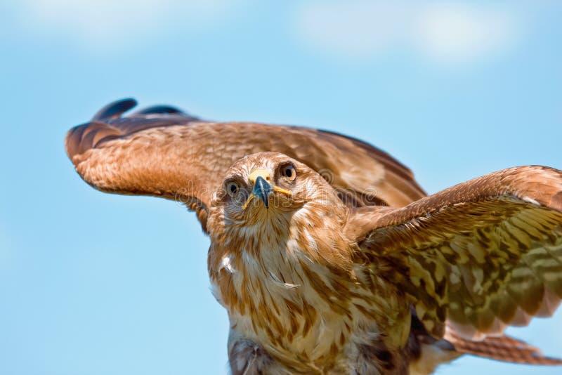 Verticale de faucon images libres de droits