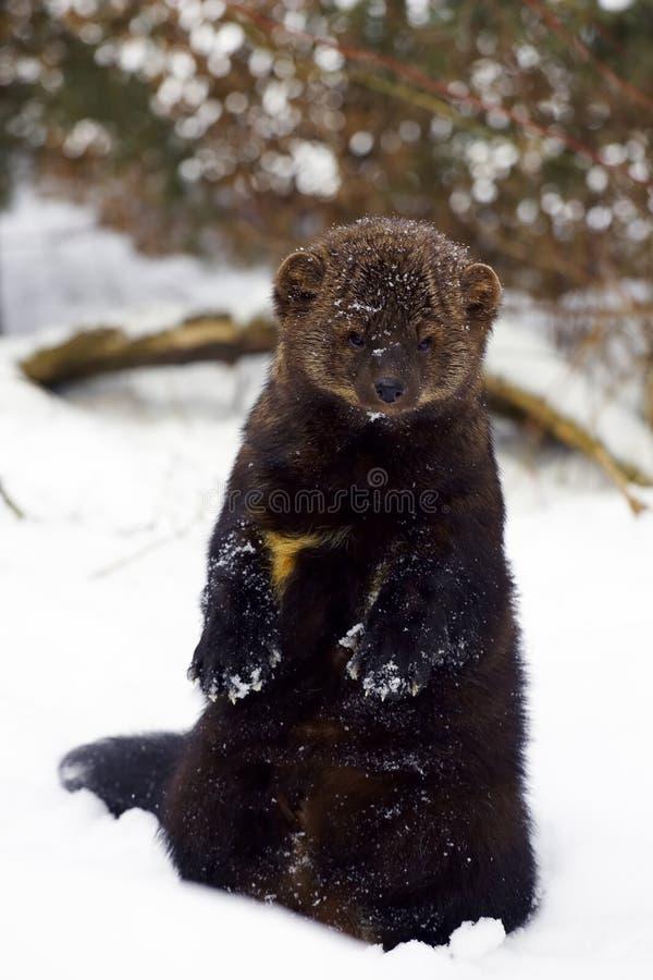 Verticale de Fisher dans la neige photo stock