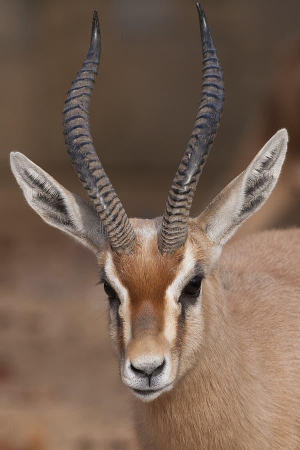 Verticale de gazelle de Dorcas images stock