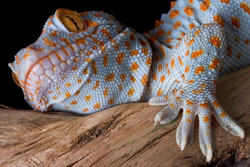 Verticale de gecko de Tokay photos stock