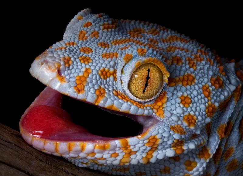 Verticale de gecko de Tokay image stock