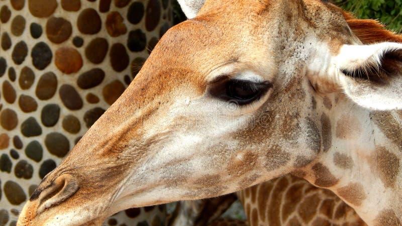 Verticale de giraffe photographie stock libre de droits