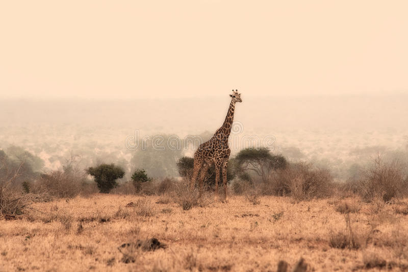 Verticale de giraffe photo stock