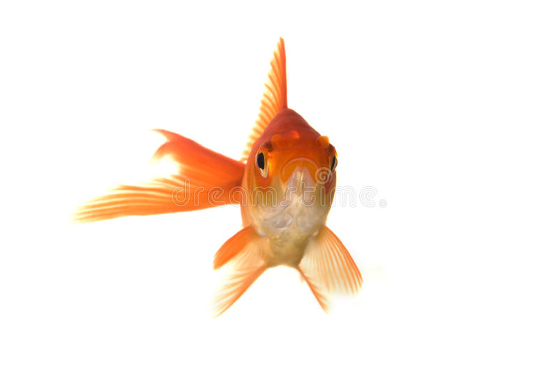 Verticale de Goldfish photos libres de droits