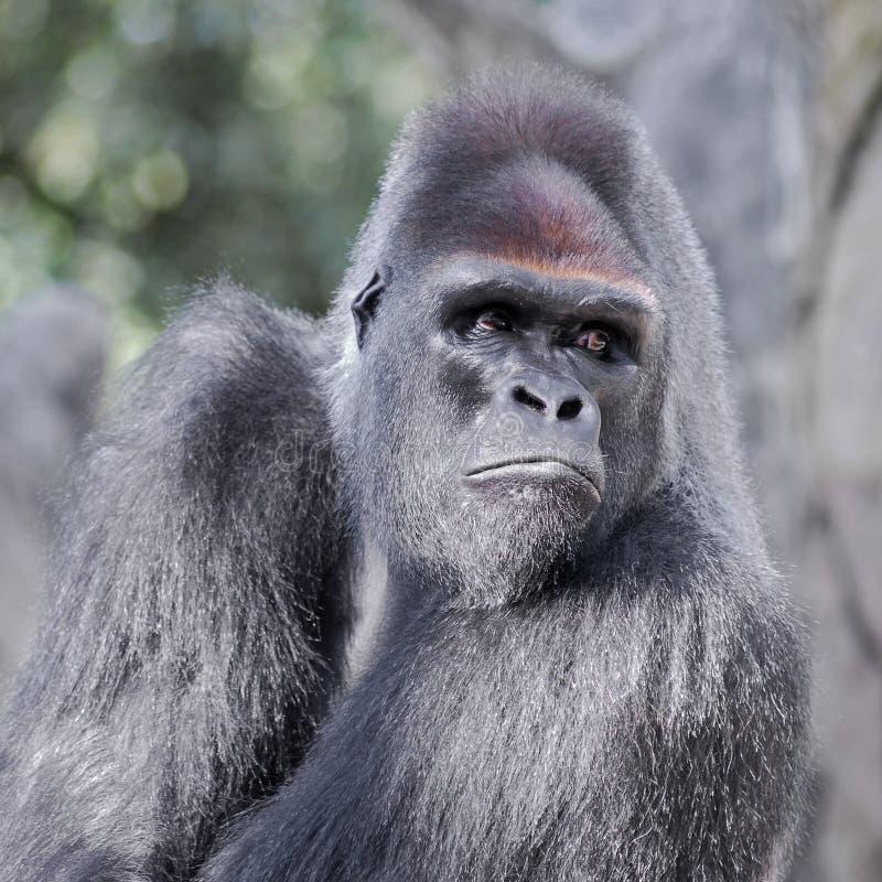 Verticale de gorille images stock