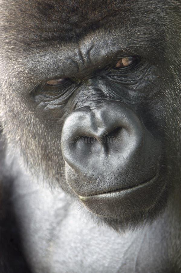 Download Verticale de gorille photo stock. Image du primat, faune - 88830