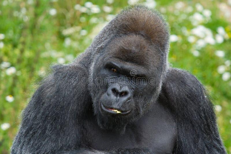 Verticale de gorille de Silverback images libres de droits