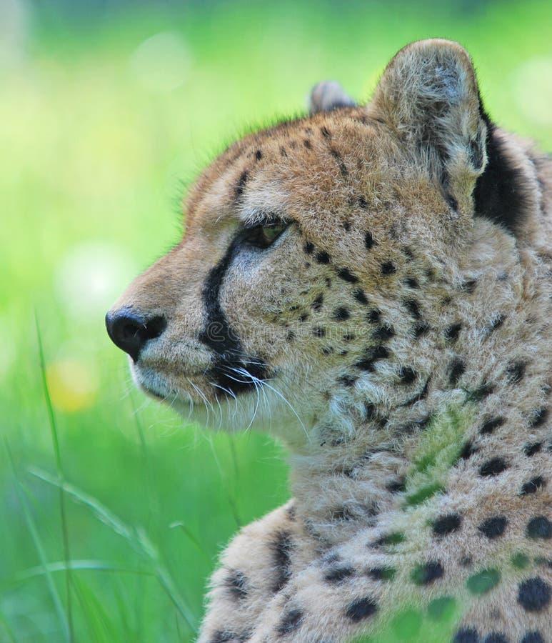 Verticale de guépard images libres de droits