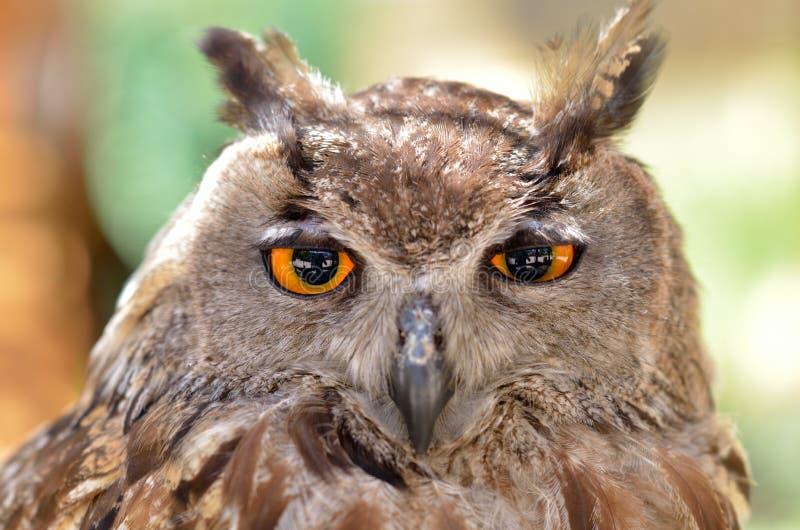 Download Verticale de hibou photo stock. Image du brun, ornithologie - 56479284