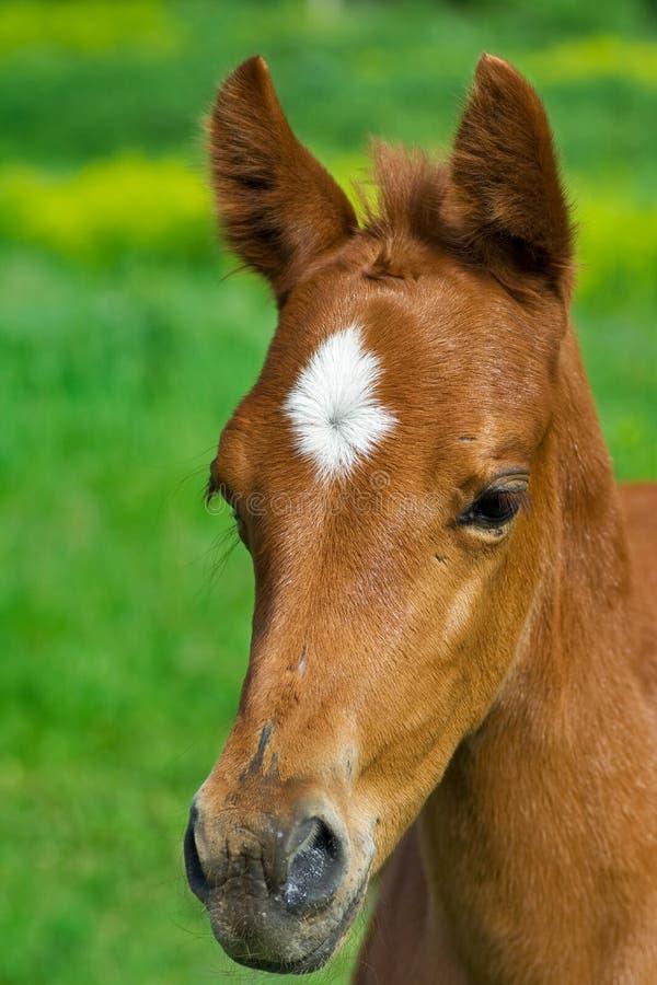 Verticale de jeune cheval images libres de droits