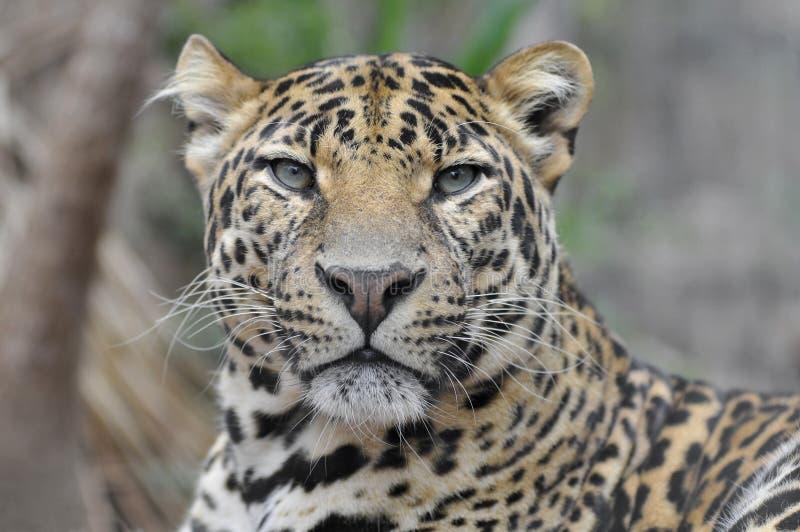 Verticale de léopard images stock