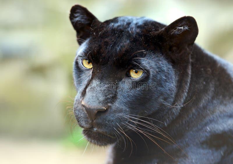 Verticale de léopard photographie stock libre de droits