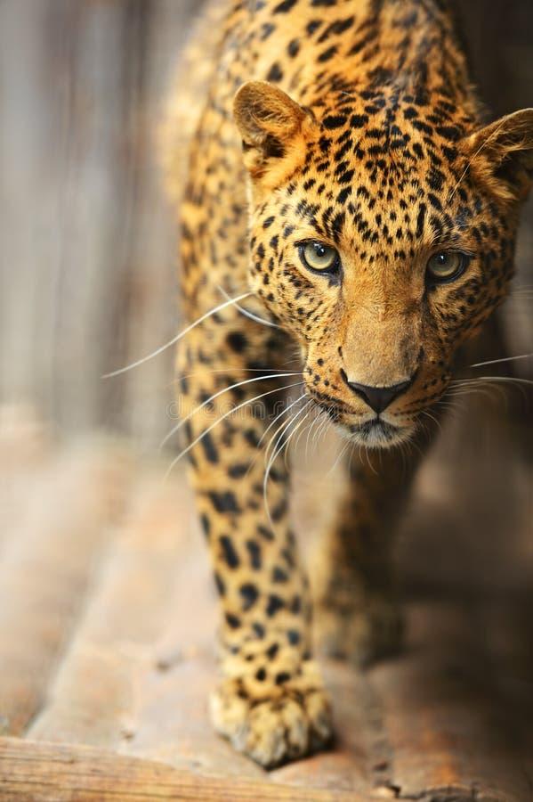 Verticale de léopard image libre de droits