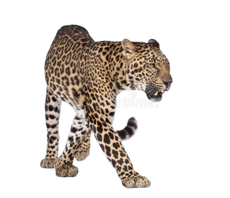 Verticale de léopard, pardus de Panthera, marchant photo stock