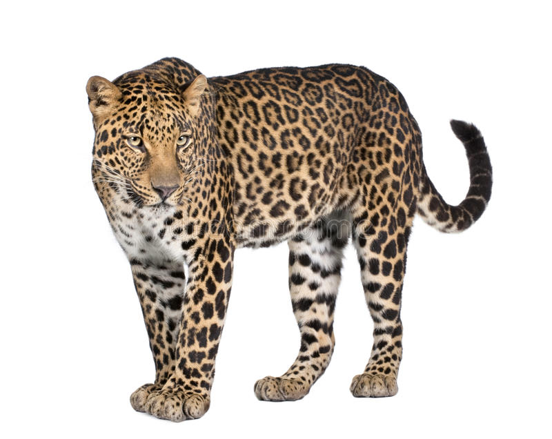 Verticale de léopard, pardus de Panthera, restant images libres de droits
